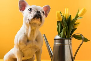 cute french bulldog sitting near wat