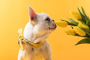 funny french bulldog sniffing beauti