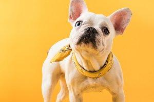 cute french bulldog with beautiful y
