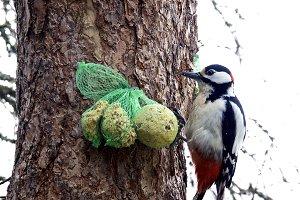 White-headed Woodpecker Picoides alb