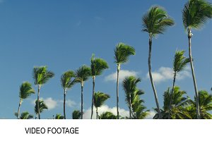 Nature scene of high palms against
