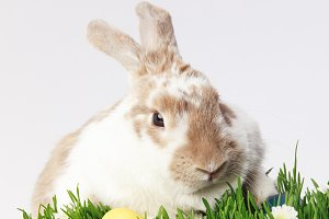 Rabbit on grass with camomiles and p