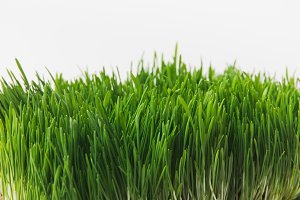 Front view of green grass stems isol