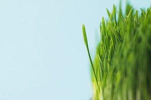 Studio shot of green grass stems iso
