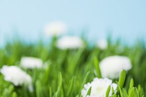 Camomiles and green grass isolated o
