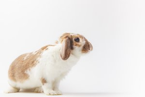 Side view of rabbit with brown and w