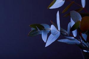 eucalyptus leaves on twigs in vase o