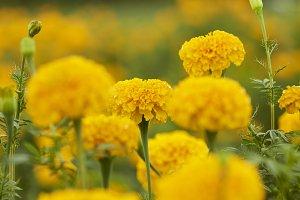 Yellow Marigolds (Tagetes erecta Lin