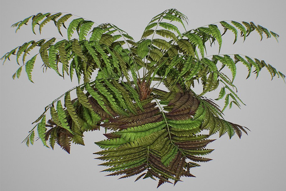 Alsophila fern old LOW