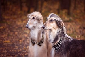 Two magnificent Afghan hounds