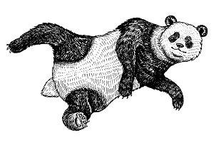 Soaring Giant panda. A wild