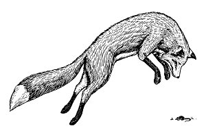 Soaring red fox. Wild forest