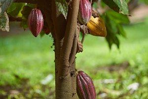 Cacao tree plant