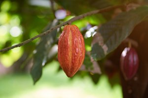 Harvesting cacao pods theme