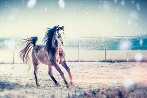 Winter horse running on snow