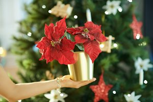 Closeup on red poinsettia in hand of