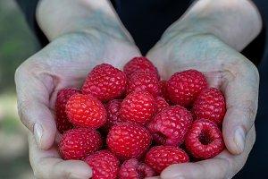 Raspberries in the hands
