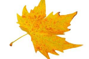 Orange fall maple leaf