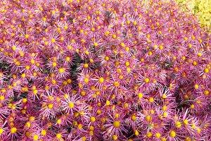 Field of dark pink chrysanthemums