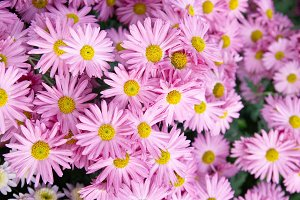 Pink flowers chrysanthemums