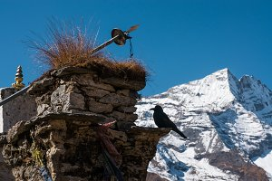 A crow in the Himalayas