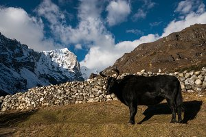 Himalayan bull