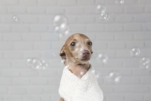 Dog prepared for the bath