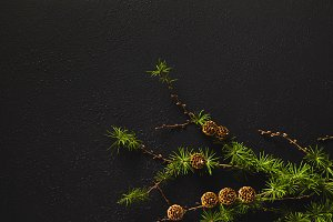 branches of coniferous tree with con