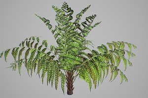 Alsophila fern young LOW