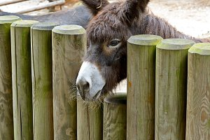 Donkey behind a wooden fence