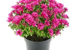 blooming chrysanthemum in flowerpot