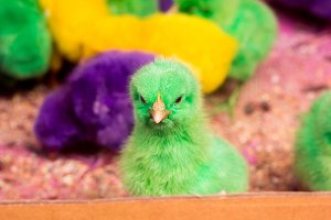 Colorful chicks in Indonesia