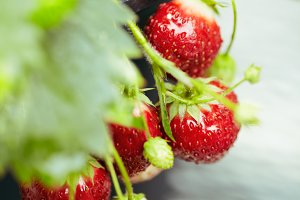 Strawberry Plant Outdoor setting