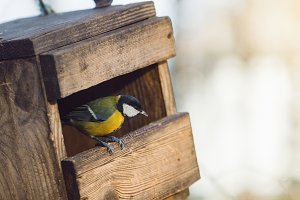Yellow tit in a birdhouse