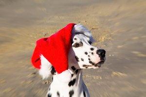 portrait of Dalmatian dog with Santa
