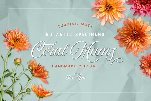Coral Mums -Realistic Flowers