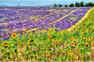 Sunflower and lavender field in
