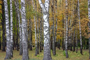 White birch trunks in October