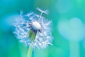 Beautiful dandelion on blue