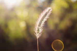 Setaria pumila, yellow foxtail, yell