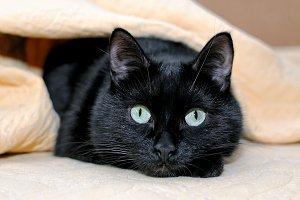 Portrait of a black cat under plaid