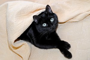 Black cat lying under a plaid