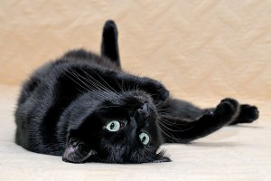 Black cat lying on his back