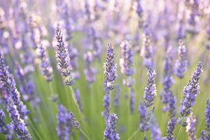 Lavender flowers with summer sun