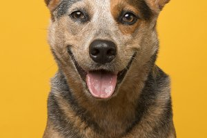 Cute australian cattle dog portrait