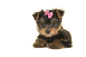 Cute yorkshire terrier, yorkie puppy