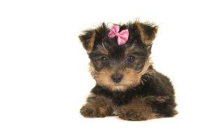Cute yorkshire terrier, yorkie puppy