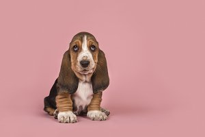 Cute basset hound puppy on pink