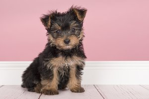 Cute sitting yorkshire terrier puppy