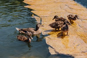 selective focus of flock of duckling